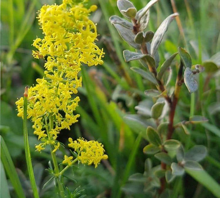 Labkraut Galium verum – eine wunderbare Heilpflanze – Pflegerin der Lymphe
