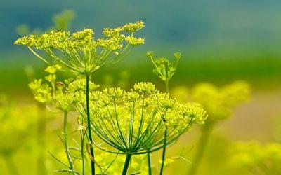Fenchel – eine Universalheilpflanze